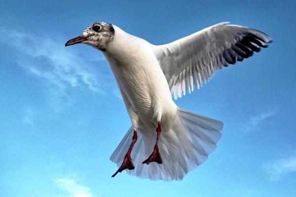 Seagull in Flight Print by Richard Cruttwell