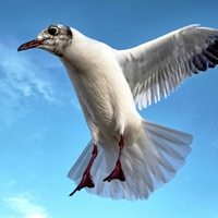 Buy canvas prints of Seagull in Flight by Richard Cruttwell