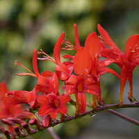 Buy canvas prints of Crocosmia - Lucifer by Stephen Cocking