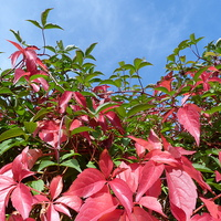 Buy canvas prints of Virginia Creeper and Blue Sky by Stephen Cocking