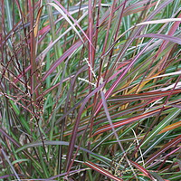 Buy canvas prints of Grasses - Autumn Colours by Stephen Cocking