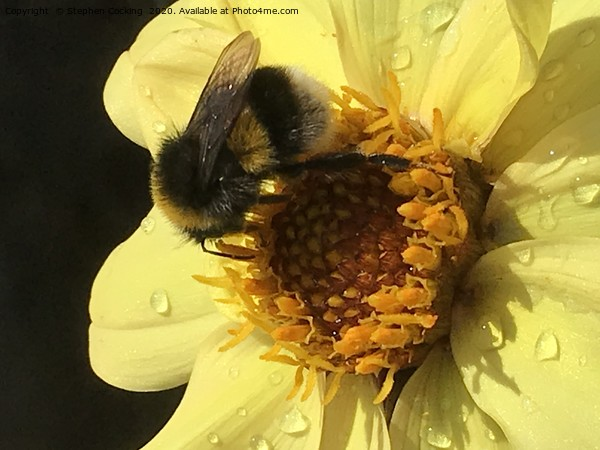 Bumble on Dahlia Canvas Print by Stephen Cocking