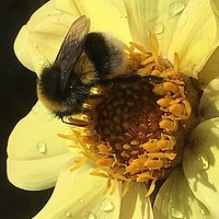 Buy canvas prints of Bumble on Dahlia by Stephen Cocking