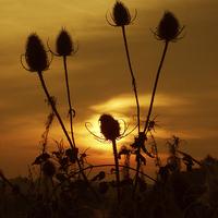 Buy canvas prints of Teasel Sunset by Elizabeth Debenham