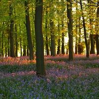 Buy canvas prints of Bluebells at Sunset, Hertfordshire. by Elizabeth Debenham