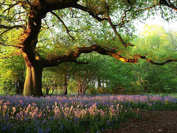 Oak Tree Canopy with Bluebells Canvas Print by Elizabeth Debenham