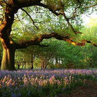 Buy canvas prints of Oak Tree Canopy with Bluebells by Elizabeth Debenham