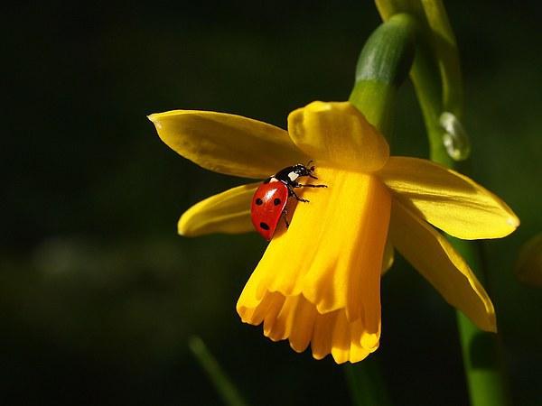 Ladybird on Daffodil in Sunshine Canvas Print by Elizabeth Debenham