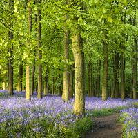 Buy canvas prints of Path through Bluebell Wood. by Elizabeth Debenham