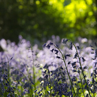 Buy canvas prints of  Bluebells and green beech leaves, Hertfordshire. by Elizabeth Debenham