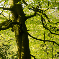 Buy canvas prints of The Beauty of a Beech Tree in May by Elizabeth Debenham