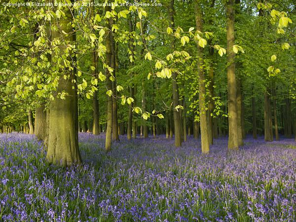 Bluebell Time in Hertfordshire Canvas Print by Elizabeth Debenham