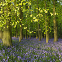 Buy canvas prints of  Bluebell Time in Hertfordshire by Elizabeth Debenham