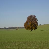 Buy canvas prints of Lone Beech Tree in a field by Elizabeth Debenham