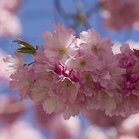 Buy canvas prints of Romantic Spring blossom by Elizabeth Debenham