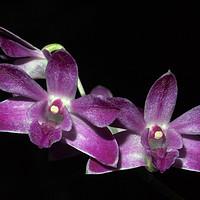 Buy canvas prints of Purple Dendrobium Orchid on Black by Elizabeth Debenham