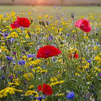 Buy canvas prints of Chenies Wildflowers in July by Elizabeth Debenham