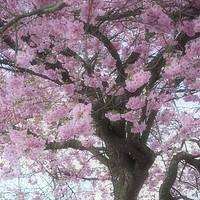Buy canvas prints of Softly focused Prunus blossom. by Elizabeth Debenham