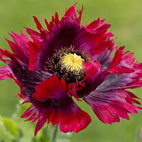 Buy canvas prints of Red Oriental Poppy by Elizabeth Debenham