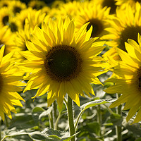 Buy canvas prints of Sunflowers with Honey Bee by Elizabeth Debenham