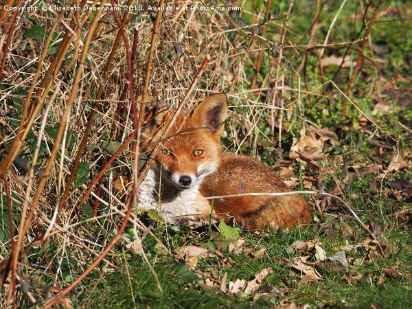 Resting fox in the garden. Canvas Print by Elizabeth Debenham