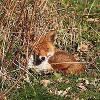 Buy canvas prints of Resting fox in the garden. by Elizabeth Debenham