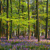 Buy canvas prints of A May Evening in the Bluebells by Elizabeth Debenham