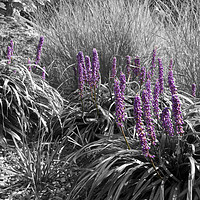 Buy canvas prints of Square Black and White Ornamental Grasses by Photoharvester Photography