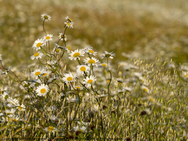 Ox-eye Daisies in a field. Canvas Print by Photoharvester Photography