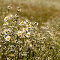 Buy canvas prints of Ox-eye Daisies in a field. by Photoharvester Photography