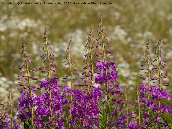 Rosebay Willowherb and Ox-eye daisies.;Wildflowers Canvas Print by Photoharvester Photography