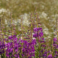 Buy canvas prints of Rosebay Willowherb and Ox-eye daisies.;Wildflowers by Photoharvester Photography