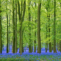 Buy canvas prints of Tall leafy beech trees in a bluebell carpet by Elizabeth Debenham
