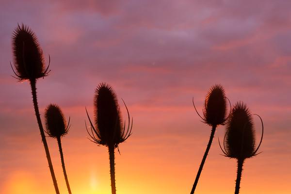 Thistle sunrise silhouette Canvas print by Matt Cottam