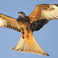 Buy canvas prints of red Kites. by Andrew chittock
