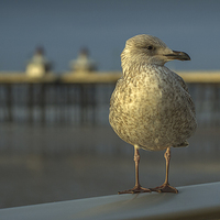 Buy canvas prints of Gull by Victor Burnside