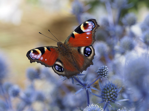 Peacock butterfly Canvas Print by Victor Burnside