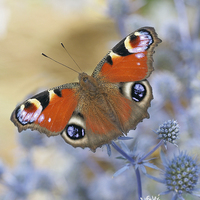 Buy canvas prints of Peacock butterfly by Victor Burnside