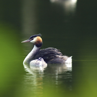 Buy canvas prints of Grebes by Victor Burnside
