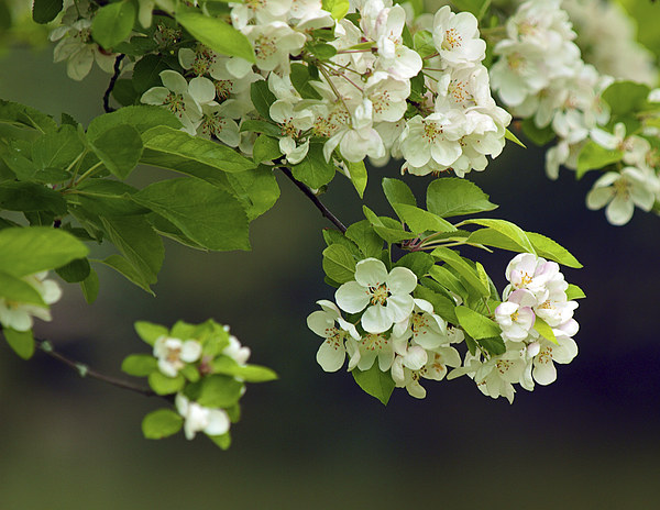 Apple Blossom Canvas Print by Victor Burnside