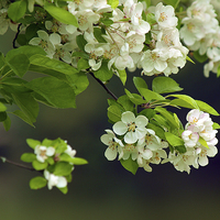 Buy canvas prints of Apple Blossom by Victor Burnside