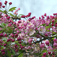 Buy canvas prints of Blossom by Victor Burnside