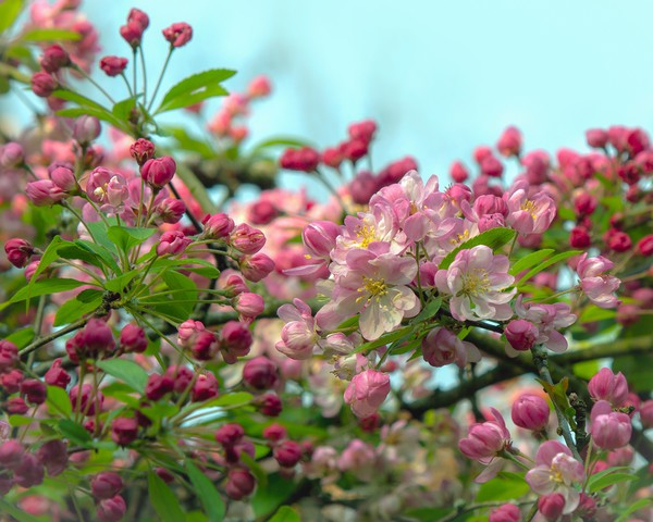Crab Apple Blossom Canvas print by Victor Burnside