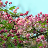 Buy canvas prints of Crab Apple Blossom by Victor Burnside