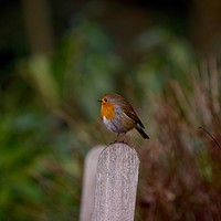 Buy canvas prints of Robin by Victor Burnside