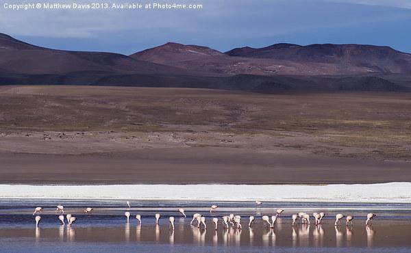 Feasting Flamingos Canvas print by Matthew Davis