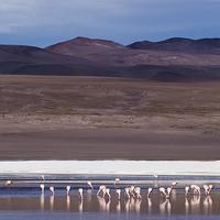 Buy canvas prints of Feasting Flamingos by Matthew Davis