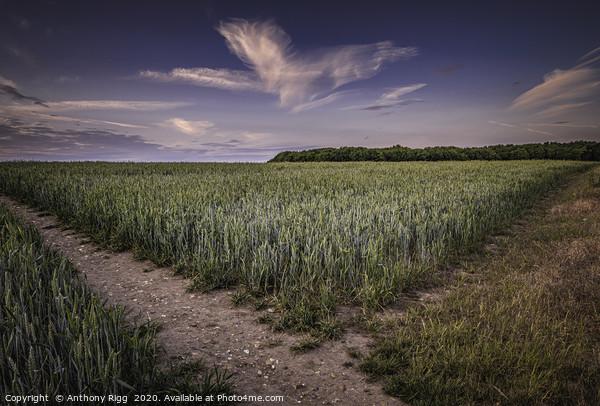 Cornfields Acrylic by Anthony Rigg