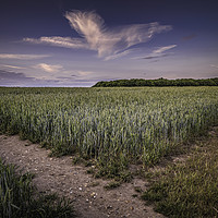 Buy canvas prints of Cornfields by Anthony Rigg