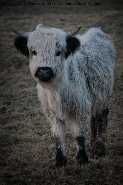 White Highland Cattle - High Park Cow Framed Print by rawshutterbug